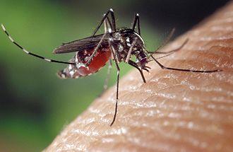 330px-Aedes_albopictus_on_human_skin