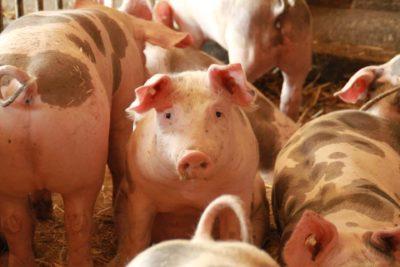 Forderndes Schweinchen